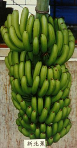 Gctcv 218 Promusa Is A Project To Improve The Understanding Of Banana And To Inform Discussions On This Atypical Crop