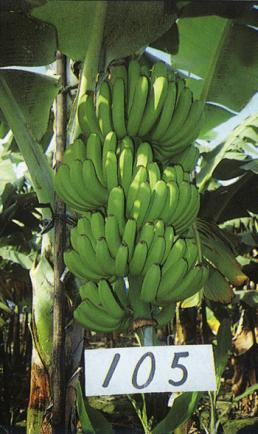 Gctcv 105 Promusa Is A Project To Improve The Understanding Of Banana And To Inform Discussions On This Atypical Crop