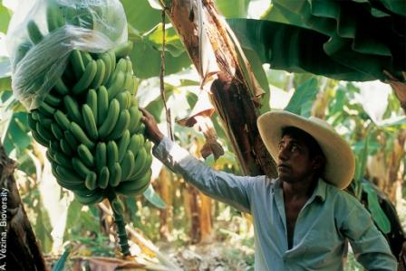 What will be the future direction of banana research?