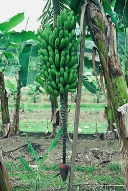 Fhia 17 Promusa Is A Project To Improve The Understanding Of Banana And To Inform Discussions On This Atypical Crop