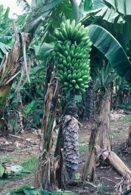 Fhia 02 Promusa Is A Project To Improve The Understanding Of Banana And To Inform Discussions On This Atypical Crop
