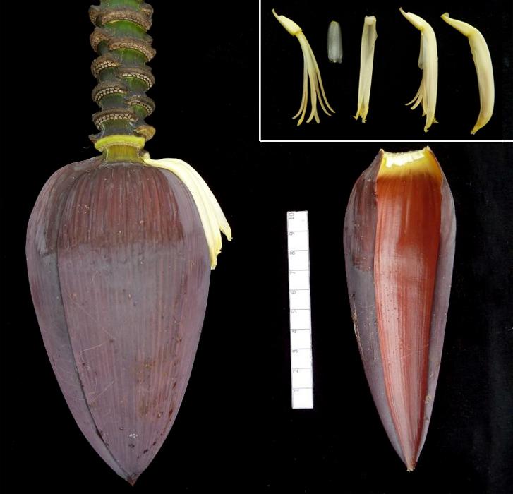Key parts of the plant, such as the male bud and male flowers of 'Wahtu' (inset), were also photographed according to guidelines developed by MusaNet experts. The morphological characterization will be compared with the plant's ploidy and DNA profile determined by the Musa Genotyping Centre. The banana plants that were not collected were also photographed and will be included in a series of guides being prepared. (Photos by Jeff Daniells)