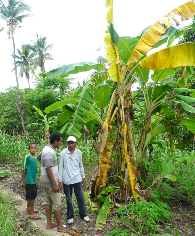 The collecting team also included a plant pathologist to sample plants for pathogens. Plants displaying symptoms of Fusarium wilt, like this Silk banana seen on the island of Flores in the Lesser Sunda Islands, were sampled. The vegetative compatibility groups of the isolates are being determined at ITFRI's lab in Solok. (Photo by Jeff Daniells)