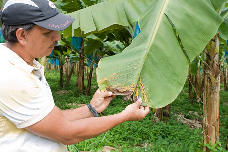 Being located in the humid tropics, the banana farm still needs to use fungicides to control black leaf streak disease. For three weeks a month the bananas are sprayed once or twice a week. On the fourth week, they are sprayed with a proprietary blend of bacteria and yeast, a practice that has led to a 25% reduction in fungicides. The hired crop dusters use GPS devices to ensure the fungicides hit only their target. No one is allowed in the field during spraying and for two hours afterward. (Photo by Angie Johnson)