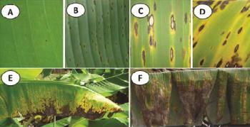 Sigatoka Leaf Spot Symptoms