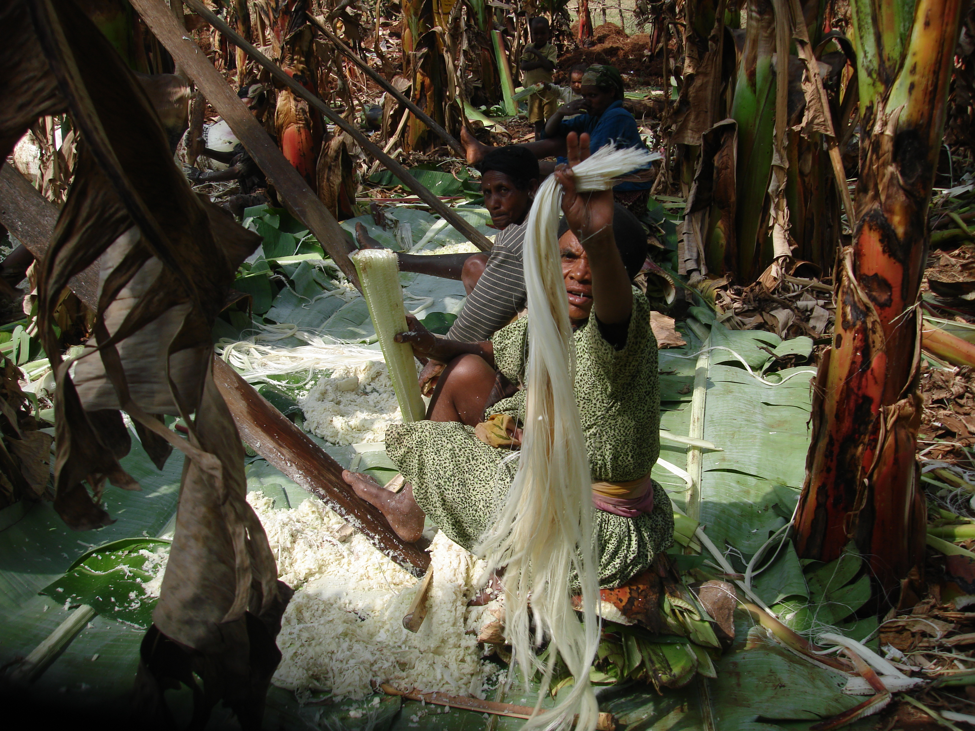 The men dig up the plants which the women slowly dismantle (3 women can only process 2 enset plants in a day). Their feet are as important as their hands to separate the fibre from the pulp in the leaf sheaths. The pulp is used in the making of fermented starch. (Photo by Guy Blomme)