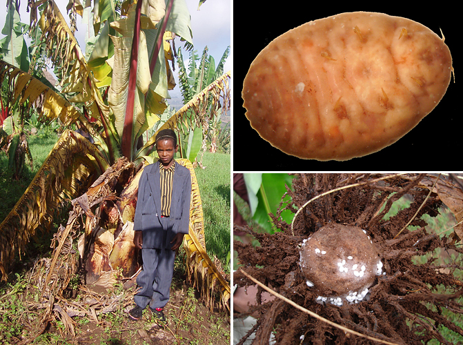 The enset plant's main enemies are a bacterium and an insect. The Xanthomonas bacterium, which causes a wilt disease (left), was first reported in 1968 and has since spread to East Africa's bananas, on which the disease is known as BXW.  The enset root mealybug (upper right) attacks the plant's roots and rhizome. (Photos by Eldad Karamura, left, and Guy Blomme)
