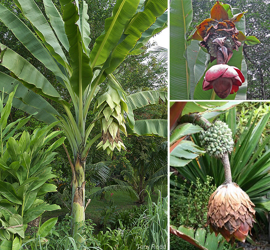 The Ensete genus includes a handful of species that are native to Africa and Asia. The taxonomy of the genus has not been fully resolved and remains a subject of debate.
