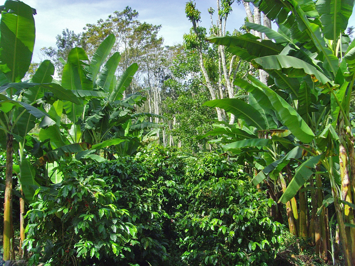 Hill Bananas are often intercropped with coffee to provide shade to the young coffee trees and regular revenues to farmers while the trees are growing. (Photo credit: Tamil Nadu Growers' Federation)
