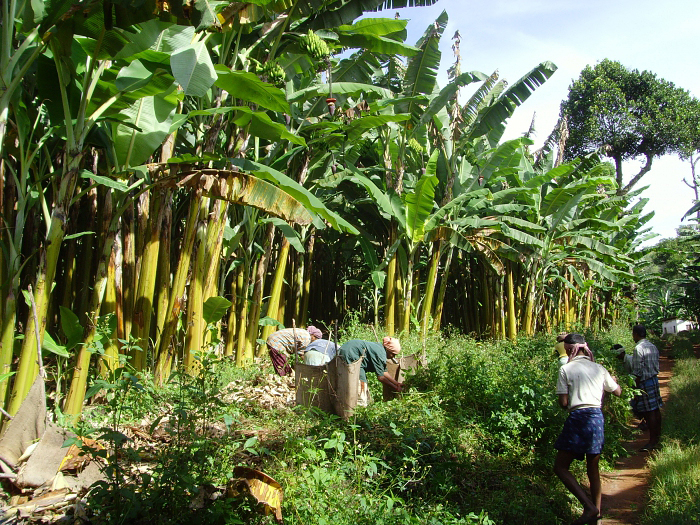 A mat of Hill Bananas has an average lifespan of six years, after which it is uprooted and replaced with a new plant. (Photo credit: R.Pavalarajan)