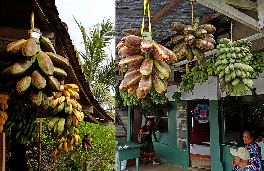 Prior to 1998, you couldn't buy Karat bananas in the markets of Kolonia, the capital of the Pohnpei State. Nowadays, the three types grown on the island can be found alongside the other bananas. (Photos by A. Vezina)
