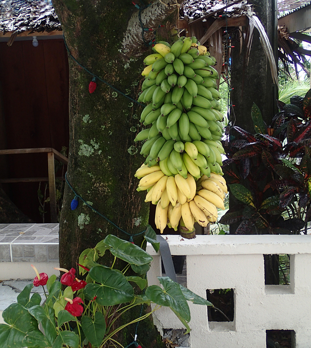 Utin Menihle, a Silk type, is a popular dessert banana. Bananas are often hung outside houses to welcome visitors. (Photo by A. Vezina)