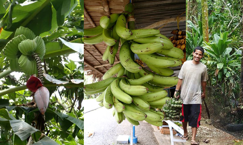 The Bananas Of Pohnpei In Pictures Promusa The Banana