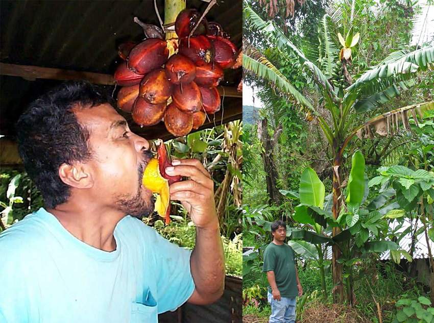 Karat bananas belong to a group of bananas called Fe'i (or Fehi). Domesticated in the Pacific region and introduced early in Pohnpei, Fe'i bananas are easily recognized by their erect bunch. (Photos by L. Englberger (left) and J. Daniells)