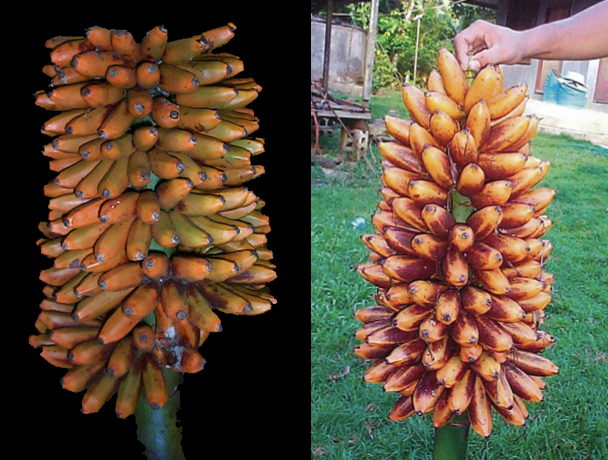Two other Fe'i bananas, Utin Mwas (left) and Utin Iap, have higher levels of vitamin A precursors than Karat bananas, but are rarely seen in markets.(Photos by L. Englberger)