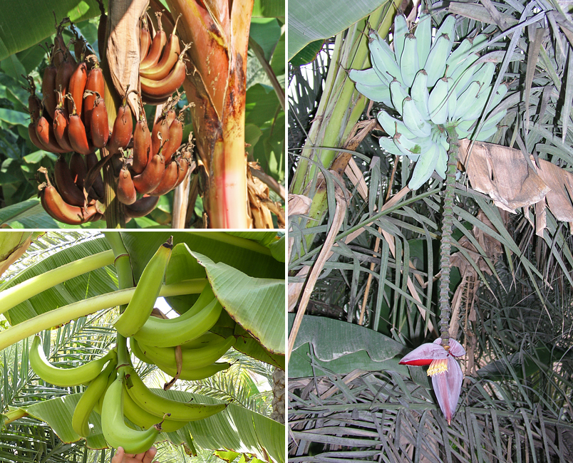 Some of the bananas were (clockwise from upper left) 'Red', 'Silver Bluggoe' and 'Horn Plantain'. (Photos by S. Behrendt)