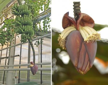 The 'Umq Bir' in the University of Kassel's Greenhouse of Tropical Crops has an unusual male bud whose shape changes from plump to lanceolate as it matures. (From left, photos by A. zum Felde and A. Buerkert)
