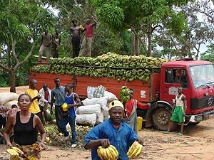 Gros Michel bananas being transported to market