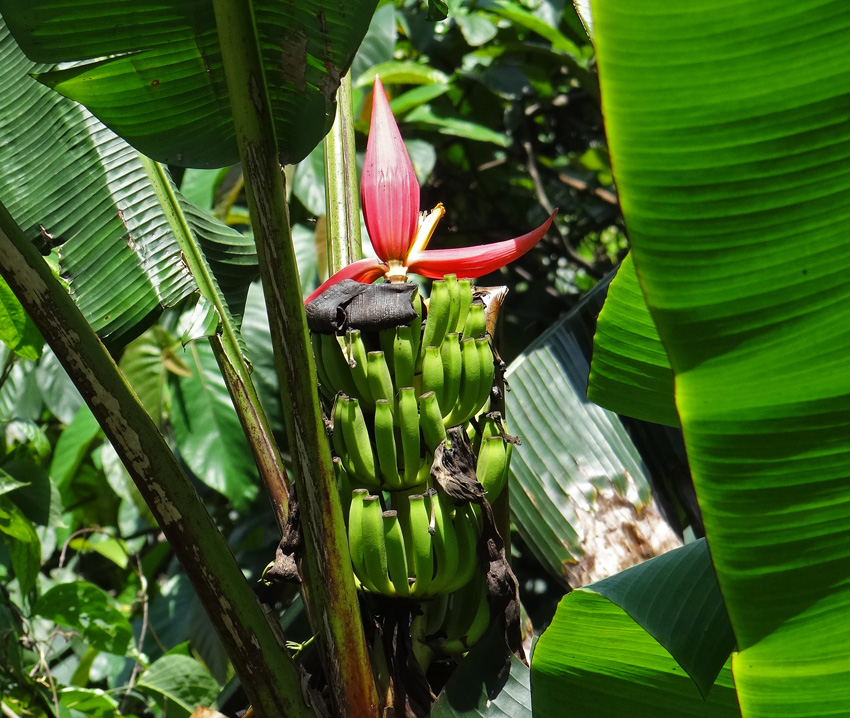 Musa markkui was named after Markku Hakkinen to honour his contributions to the taxonomy of wild bananas. The species has an erect inflorescence, a trait it shares with many ornamental bananas.