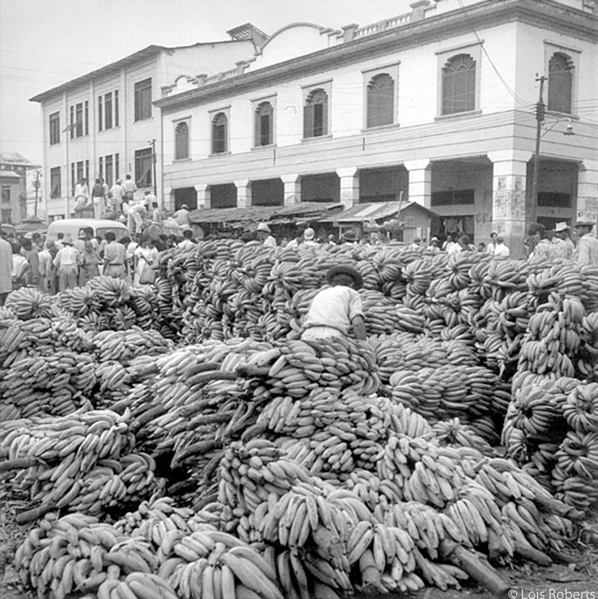 Gros Michel bananas on the Guayaquil waterfront in the 1950s. (Photo by Lois Roberts)