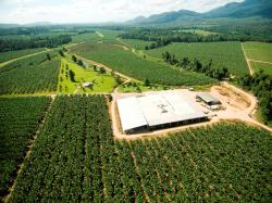 Monoculture of Cavendish bananas on the wet tropical coast of north Queensland, Australia. (Courtesy of MacKay family)