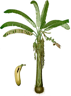 Illustration of Musa Paradisiaca