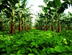 Bananas grown with a cover crop of Arachis pintoi in Guadeloupe. (Photo, CIRAD)