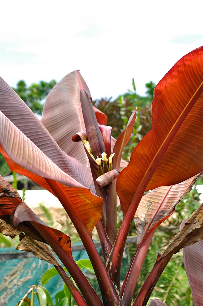 The team saw three types of red leaves banana plants, including this bright red one which they named 'Glenda's Red' after the woman who kindly agreed to share suckers from her garden. She said that the plant started being seen after the civil war, which ended in 1997, as a reminder of the blood that had been shed. Grown as an ornamental (the fruit is said not to be edible), the plant does not seem to have a local name. (Photo by Gabriel Sachter-Smith)