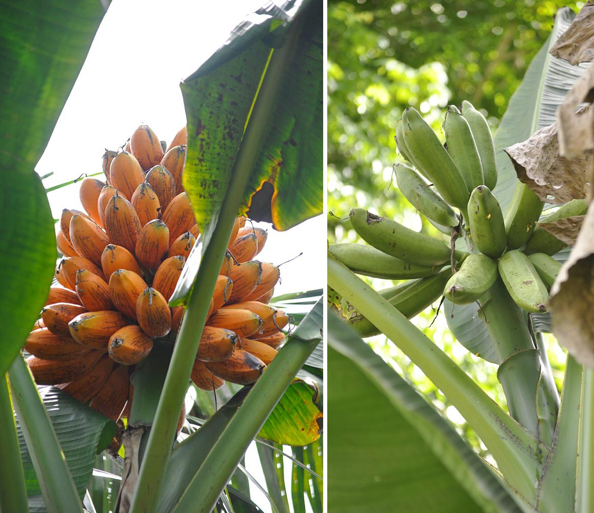 "Fe'i bananas are different from other bananas in that they have an erect bunch that points to the sky. Hence the name 'Limot' ― which means ""upright"" ― of the banana on the left. The plant was introduced from Nissan Island further north. The name of the banana on the right is 'Kourai', a variant of the local word for wild bananas (kaura).  The team collected five Fe'i bananas bearing variants of that name. Unlike the other bananas, they could have been domesticated locally if it turns out that they are related to one or more of the islands' native wild species. (Photos by Gabriel Sachter-Smith)"