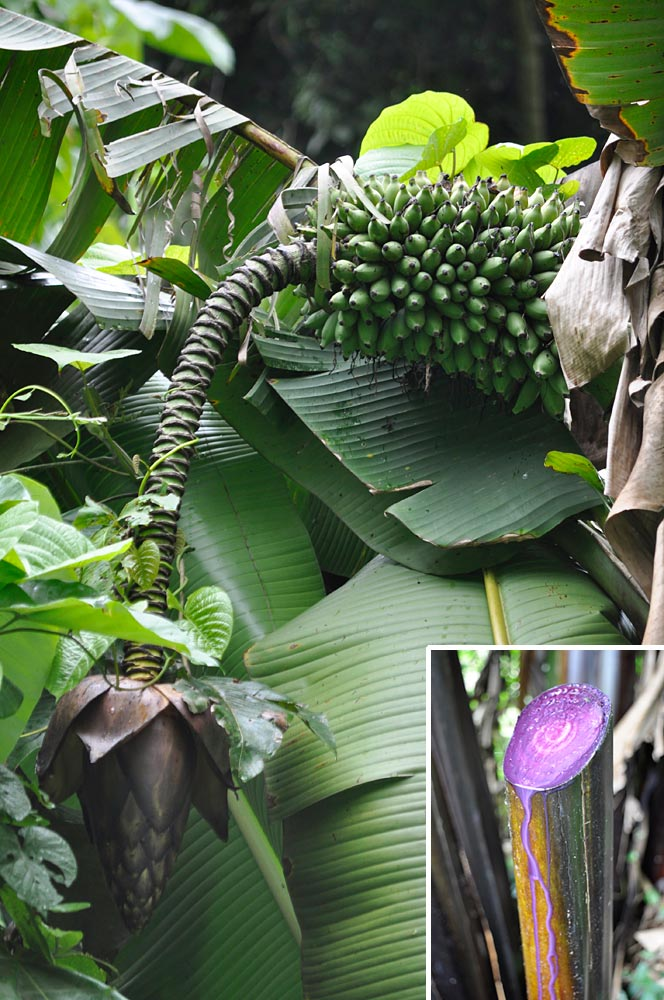 Contrary to what its name suggests, ''Musa bukensis'' is absent from Buka Island.  It is mainly found in the southern part of Bougainville Island. Its purple sap (insert) is used in dying mats. (Photos by Gabriel Sachter-Smith)