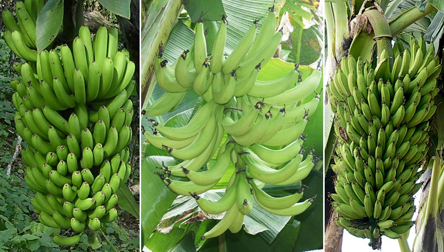 From left to right, Cavendish, Plantain and East African highland banana representatives.