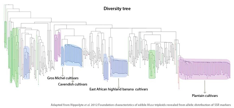 Diversity tree constructed with genebank accessions of cultivated bananas and some of their wild ancestors (in green).