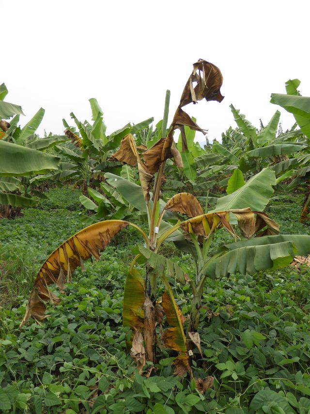 A banana plant infected with BXW and its attached sucker. (Photo by Guy Blomme)