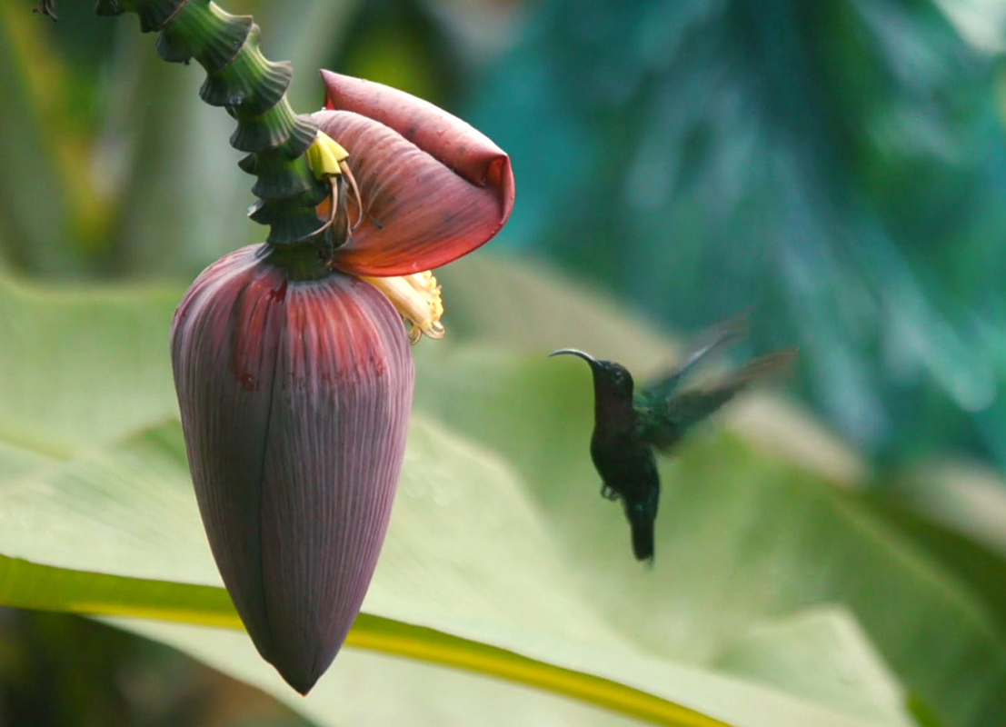 The study found a positive link between the application of agroecological approaches and biodiversity. For example, the average number of bird species, 7, was up compared to a previous study that reported an average of 3 species. Scientists also observed a correlation between the presence of certain species and the development stage of the banana plants. Hummingbirds, for one, were very territorial during flowering, chasing other hummingbirds away. They were less often observed at other times and tended to ignore each other. (Photo: UGPBAN)
