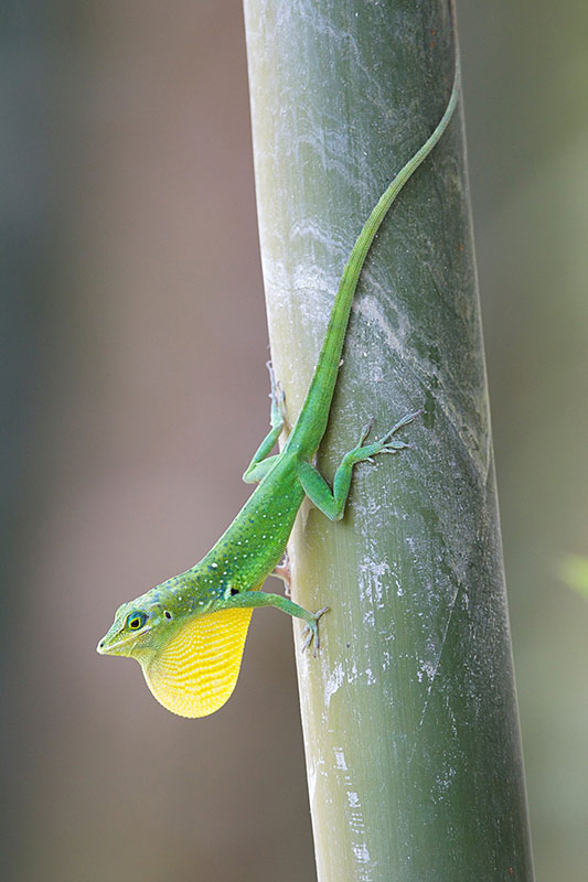 On each island, a different species of anole lizard was observed: ''Anolis roquet'' in Martinique and ''Anolis marmoratus'' in Guadeloupe. During the day, adult anole lizards, especially reproductive males, were found on the [http://www.promusa.org/Morphology+of+banana+plant#Pseudostem|pseudostem] defending their territory or on the look-out for prey. In contrast, juveniles, and some females, were found on the ground, where they hunt in the litter. (Photo: UGPBAN)