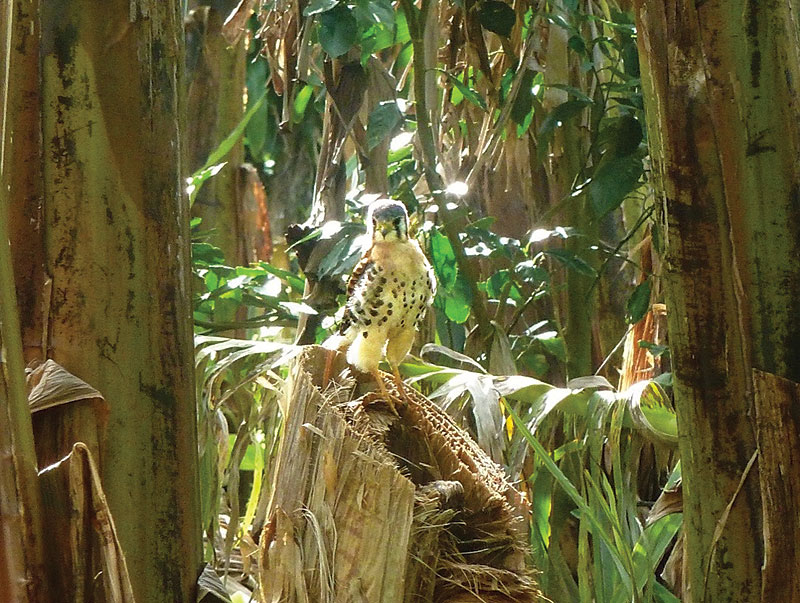 In total, 24 species of birds were inventoried inside the banana fields and at their edge, including the American kestrel, ''Falco sparverius'', the smallest and most common falcon in North America. Its diet typically consists of insects, lizards, frogs, and small birds and rodents. (Photo: UGPBAN)