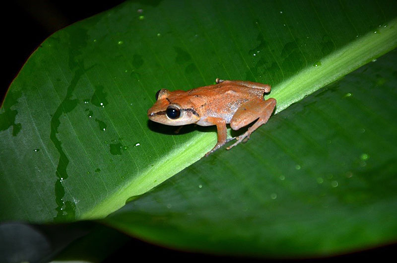The scientists observed four species of amphibians, including the native Martinique robber frog, ''Eleutherodactylus martinicensis'', considered as a [http://www.iucnredlist.org/details/56747/0|near threatened species by the IUCN]. The permeable skin of amphibians makes them sensitive to pollutants in their environment. This species is difficult to see during the day as it hides relatively high up at the base of banana leaves. It lays its eggs on the ground. (Photo: UGPBAN)