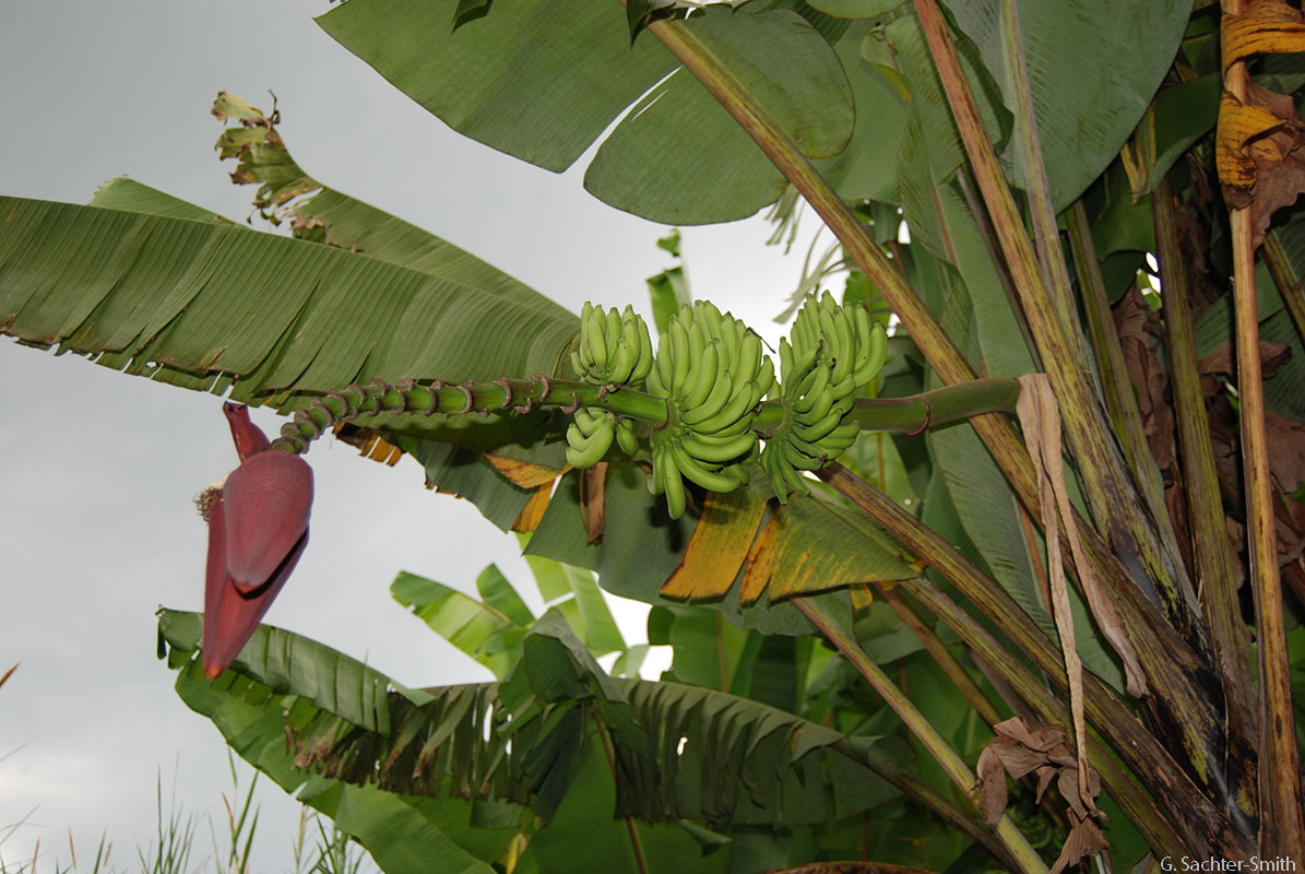 Inflorescence of Musa acuminata ssp. malaccensis. (G. Sachter-Smith)