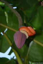 Male bud of Musa acuminata ssp. malaccensis. (G. Sachter-Smith)