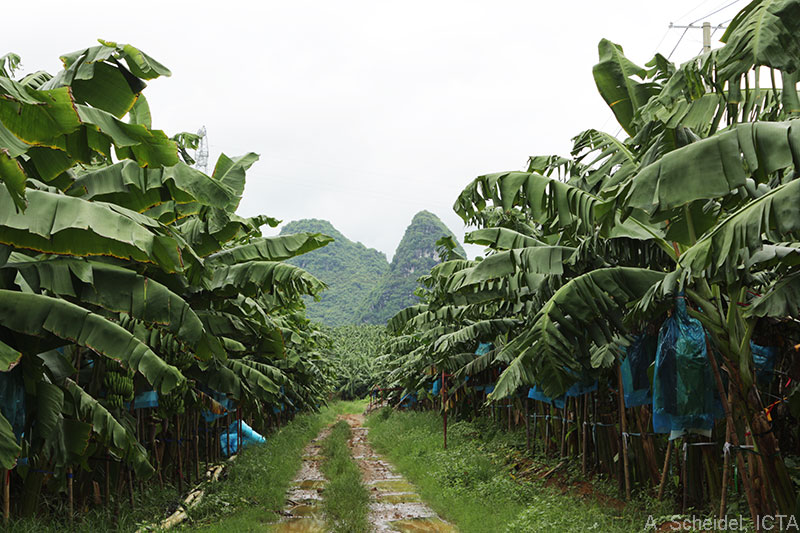 Banana plantation in the Guangxi autonomous region of China. (A. Scheidel, ICTA)