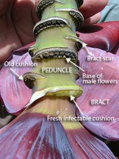 Photo diagram of the parts of the inflorescence implicated in insect transmission of banana Xanthomonas Wilt