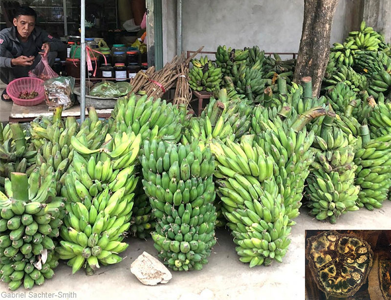 Musa balbisiana is widely cultivated for non-fruit uses, such as animal feed. The fiber is also used to make cloth or rope, the thick leaves are used for cooking, and the male bud is eaten. The cultivated plants tend to have larger fruits and more pulp, compared to the wild ones, and the seeds don't form completely and stay kind of soft. These plants are grown from suckers, which could explain why the seeds are not viable. When I toured Northern Vietnam with French and Vietnamese scientists at the end of 2018, I was surprised to see that nearly every restaurant had wild banana infused alcohol and that in every small town there were bunches of Musa balbisiana awaiting processing outside herbal shops. The seeds are extracted (and used in ways that are not clear to me) and the fruits are sliced and steeped in alcohol (inset).