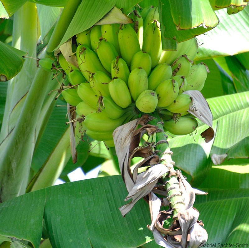 There's an unresolved debate as to whether edible bananas derived exclusively from Musa balbisiana exist. This plant, whose fruit look like those of a seedless cultivar, could be one. We saw it in Ha Long, Vietnam. It's nearly identical to Musa balbisiana, except for its plump and round fruit. Unfortunately, it was behind a fence and the security guard would not permit us to collect leaf samples, let alone suckers. It's also unfortunate that the male bud had been removed (the bracts on the male bud of Musa balbisiana lift up, as opposed to those of Musa acuminata which roll up). I hope we can find it again.