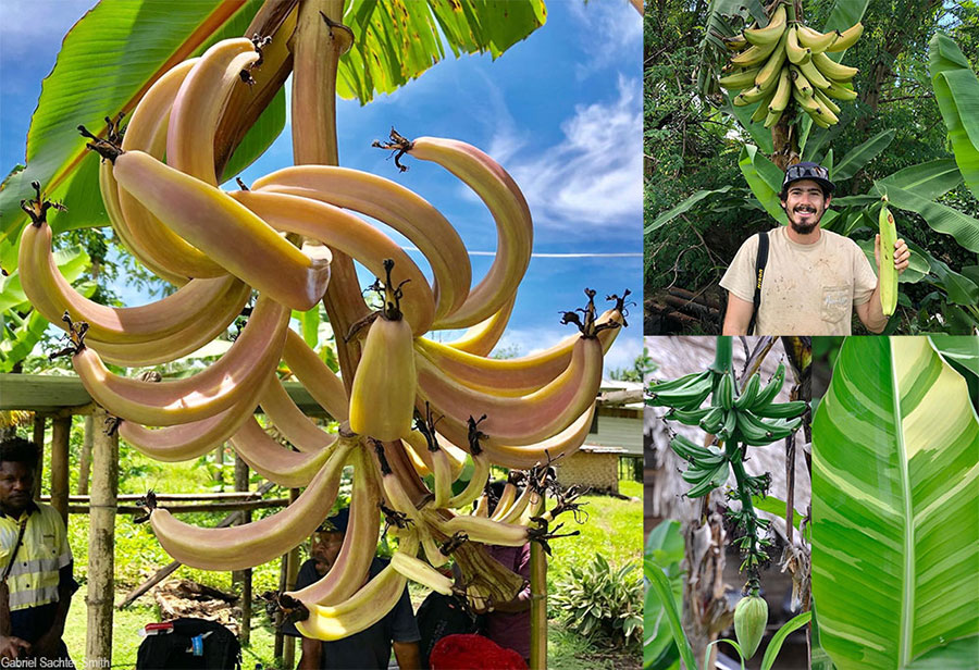Another day in PNG, another diploid banana. The eye-catching immature reddish bananas on the left turn whitish yellow at maturity but remain swirly. 'Pagal' (top right) produces large and delicious fruits, and 'Mapalepa' is a variegated cultivar (bottom right). The diploids of PNG are a puzzle. We don't know how they relate to each other. DNA evidence shows that they tend to cluster together, except for a few outliers. It's hard to say anything specific about them at this point, beyond appreciating the diversity for what it is.