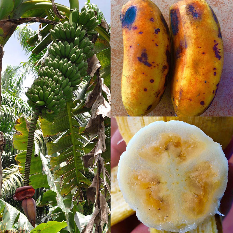 When I first came across this banana in 2011 in the Solomon Islands, I thought it was a triploid Pisang Awak cultivar, albeit a particularly large and vigorous selection. In 2016, I saw it again during a collecting mission to Bougainville. Having learned a thing or two about bananas, I called it as a tetraploid Pisang Awak-derived hybrid. Lo and behold, the molecular results showed that it was indeed one. There is some speculation as to the identity of the donor of the extra set of chromosomes. It could be a species from another section, the one that has the ancestors of Fe'i bananas. I saw it again in 2019 in West New Britain, PNG, where the photos were taken. This time I got to sample the fruit. Note the distinct orange cast to the fruit pulp and peel, probably evidence of its intersectional parentage. It tastes like a more flavorful Pisang Awak. It's a massive plant that produces a huge bunch and has drooping leaves that almost touch the ground.