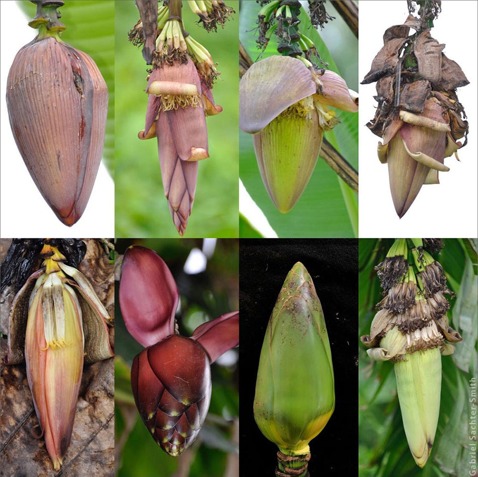 The diversity of banana fruits usually gets all the attention, but I find the male buds equally interesting. Here is a sampling of a few of the buds seen in West New Britain. The color of the bracts, the way they lift or roll, and overlap at the apex are also important traits to look at when identifying cultivars.