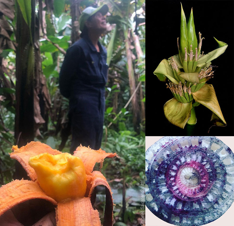 Snacking on a Fe'i banana (called Utu in the Cook Islands) in Celine's mountain garden (left). Celine transplanted several Utu plants growing feral in the forests of Takuvaine valley. She has three, maybe four forms of Utu in her garden, but says that there are more forms to be found further up the mountain. Besides the color of the fruit, Fe'i bananas are easily recognized by their erect inflorescence (top right) and the blue/purple sap seeping out a cross-section of the pseudostem (bottom right).