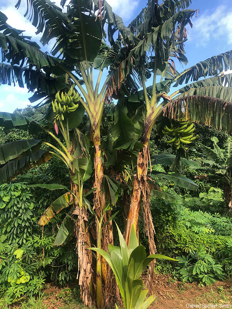 'Tara Puakatoro' (meaning cow horn) is a classic False-Horn Plantain, in that it produces a few large fruits and the male bud degenerates quickly after the fruits are formed. Even though the name refers to a recently introduced animal, this cultivar has been reported as having been in the Cook Islands for a long time. Plantains have been found in islands further west and are related to traditional Pacific groups, like Iholena and Maoli-Popoulu (see below). I suppose it's time for me to start considering them as a traditional group in the Pacific, instead of as recent introductions.