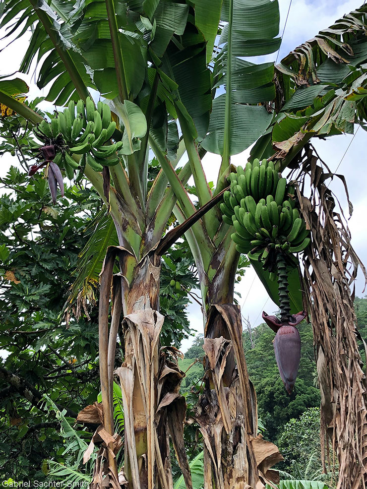 In Samoa, we stumbled on the rare sight of two Maoli-Popoulu cultivars on the same mat. The shoot on the right is 'Fa'i Samoa Aumalie', and the one on the left 'Fa'i Samoa Pupuka'. Normally, the shoots on a mat are genetically identical to each other (edible bananas reproduce vegetatively through shoots, called suckers, that sprout on the rhizome). Sometimes, however, mutations and so-called epigenetic processes disrupt the natural cloning process. If the mutant shoot's traits appeal to farmers, it will be propagated and become a new cultivar (that's how diversity has been created since cultivars became essentially sterile). In this case, we don't know which shoot spontaneously changed and whether it's a one-off event. What's also interesting is that these Maoli-Popoulu cultivars share morphological characteristics with Plantains, even though they are not identified as such. 'Fa'i Samoa Aumalie' is like a French type (large bunch with a fully developed male bud), whereas 'Fa'i Samoa Pupuka' is like a False Horn type (fewer larger fruits and a quickly degenerative male bud).