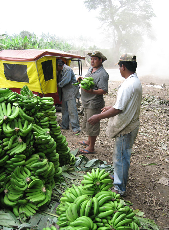 The organic bananas that do not meet export standards are sold in the local market. The lower price they fetch reflects the lack of demand for organic bananas in Peru itself. 